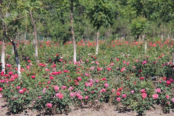 房山区河北镇磁家务村的玫瑰甜润芳香弥漫满园